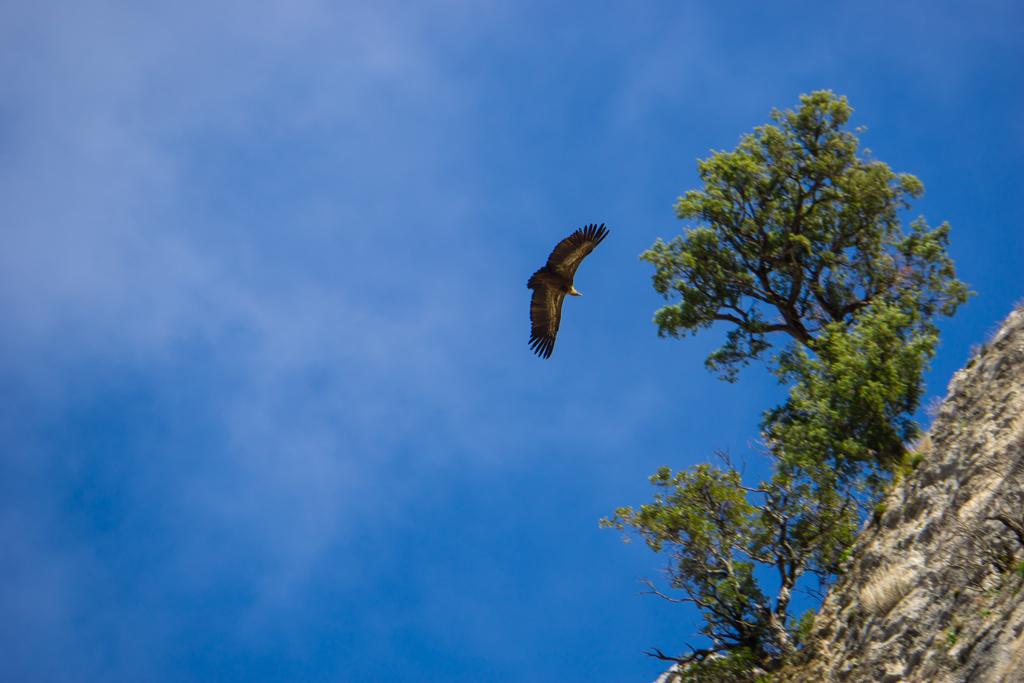 Vulture Sierra de Cazorla