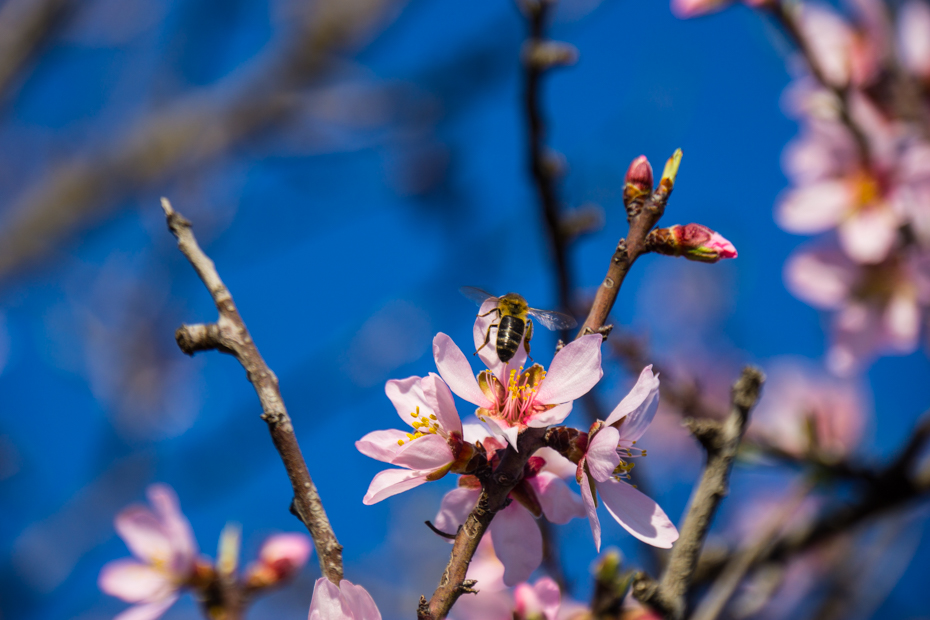 Bee Flying off Cherry Blossom 2 El Chorro