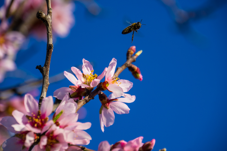 Bee Flying off Cherry Blossom 1 El Chorro